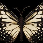 mariposas 11 1