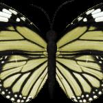 mariposas 5 1