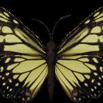 mariposas 8 1